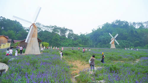 The lavender garden at Panlongxia in Zhaoqing